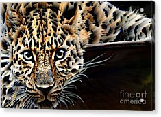 Cheetah On The Ledge Acrylic Print by Wbk