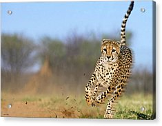 Cheetah, On The Move Acrylic Print
