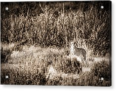 Cheetah On The Prowl - Toned Black And White Namibia Africa Photograph Acrylic Print by Duane Miller