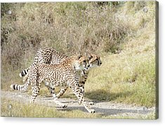 Acrylic Print featuring the photograph Cheetah Trot 2 by Fraida Gutovich