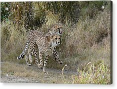 Acrylic Print featuring the photograph Cheetah Trot by Fraida Gutovich