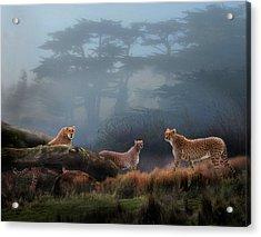 Cheetahs In The Mist Acrylic Print