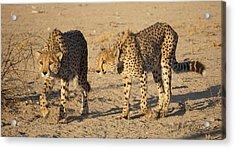 Cheetahs Acrylic Print
