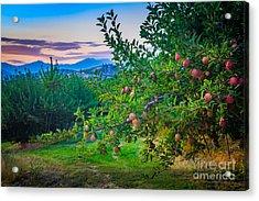 Chelan Apple Branch Acrylic Print by Inge Johnsson