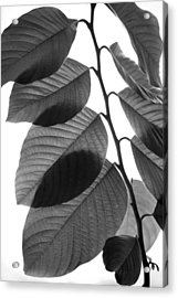 Chermoya Foliage Acrylic Print by Nathan Abbott