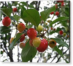 Acrylic Print featuring the photograph Cherries In The Morning Rain by Angie Rea