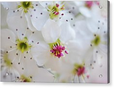 Acrylic Print featuring the photograph Cherry Blooms by Darren White