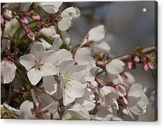 Cherry Blossom 1 Acrylic Print by Lisa Missenda