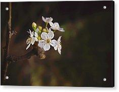 Cherry Blossom Acrylic Print by April Reppucci