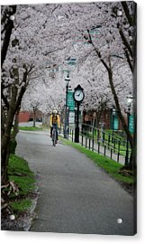 Cherry Blossom Blooming  Acrylic Print by Dan Friend