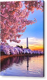 Cherry Blossom Festival  Acrylic Print by Olivier Le Queinec