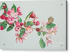 Cherry Blossom Acrylic Print by Glenda Zuckerman