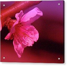 Cherry Blossom Acrylic Print by Jeff Swan