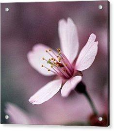 Cherry Blossom Acrylic Print by Joseph Skompski