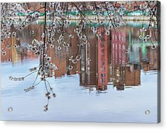 Cherry Blossom Reflections Acrylic Print