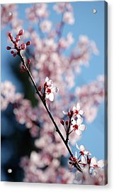 Cherry Blossom Acrylic Print by Samantha Kimble
