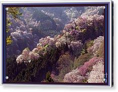 Cherry Blossom Season In Japan Acrylic Print by Navin Joshi