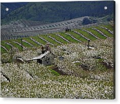 Cherry Blossom Spring Acrylic Print