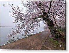 Cherry Blossom Tree In Fog Acrylic Print