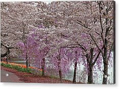 Cherry Blossom Trees Of Branch Brook Park 24 Acrylic Print by Allen Beatty