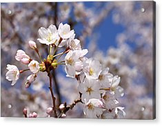 Acrylic Print featuring the photograph Cherry Blossoms - B by Anthony Rego