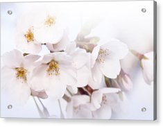 Acrylic Print featuring the photograph Cherry Blossoms - C by Anthony Rego