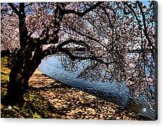 Cherry Blossoms - Washington Dc Acrylic Print by Wayne Higgs