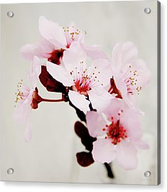 Cherry Blossoms 1- Art By Linda Woods Acrylic Print by Linda Woods