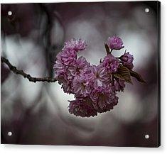 Cherry Blossoms 3 Acrylic Print by Robert Ullmann