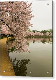 Cherry Blossoms Along The Tidal Basin 8x10 Acrylic Print