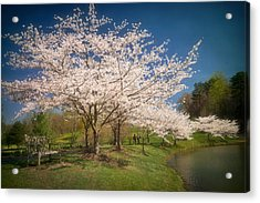 Cherry Blossoms At Meadowlark Two Acrylic Print by Susan Isakson