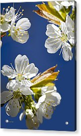 Cherry Blossoms Acrylic Print by Christina Rollo