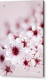 Cherry Blossoms Acrylic Print by Elena Elisseeva