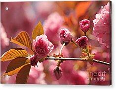 Cherry Blossoms Acrylic Print by Judy Palkimas