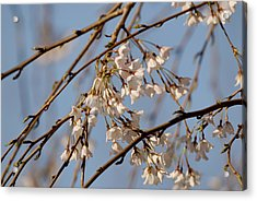 Cherry Blossoms Acrylic Print by Julie Niemela