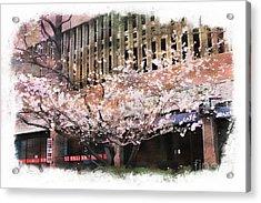 Cherry Blossoms Acrylic Print by Marcia Lee Jones