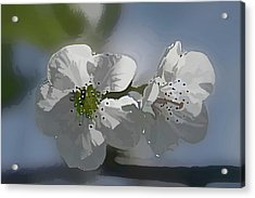 Cherry Blossoms Acrylic Print by Marti Buckely