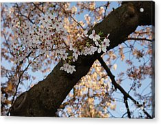 Cherry Blossoms Acrylic Print by Megan Cohen
