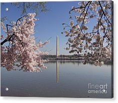 Cherry Blossoms Monument Acrylic Print by April Sims