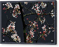 Cherry Blossoms On Dark Bkgrd Acrylic Print