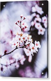 Acrylic Print featuring the photograph Cherry Blossoms by Parker Cunningham