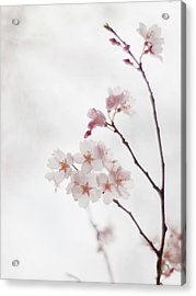 Cherry Blossoms Acrylic Print by Polotan
