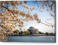 Cherry Blossoms Acrylic Print by Robert Davis