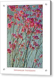 Cherry Blossoms Acrylic Print by Stephanie Hayes