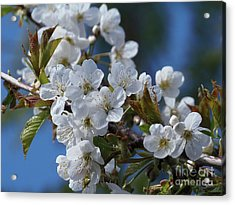 Acrylic Print featuring the photograph Cherry Blossoms by Victor K