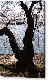 Cherry Blossoms Washington Dc Acrylic Print by Wayne Higgs