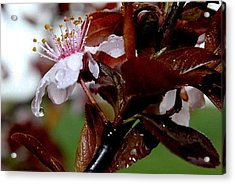Cherry Crown Acrylic Print by Toni Jackson