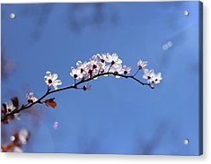Acrylic Print featuring the photograph Cherry Flowers With Lens Flare by Helga Novelli