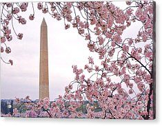 Cherry Washington Acrylic Print by Olivier Le Queinec