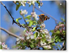 Monarch Butterfly On Cherry Tree Acrylic Print